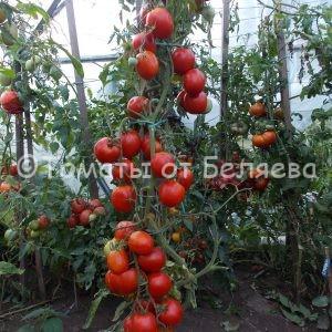 Семена томатов Высокорослый кистевой купить