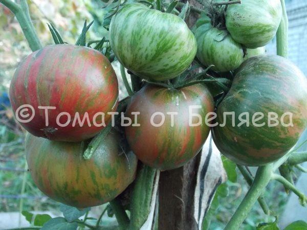 Семена томатов от частных коллекционеровТомат Зеленая копия