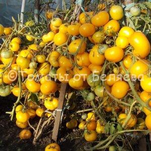 Томат Золотой урожай семена купить