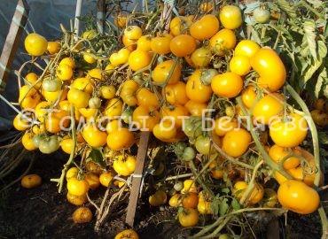 Золотой урожай