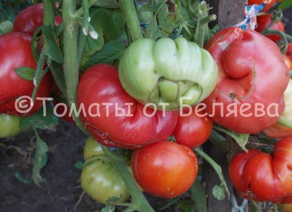 Семена томатов от частных коллекционеров Томат Зоржа