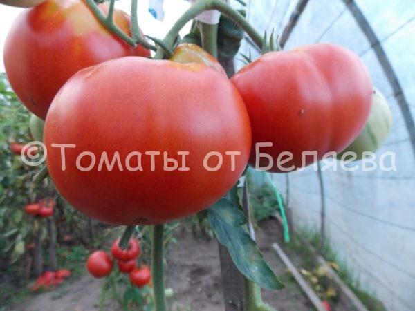 Семена томатов от частных коллекционеров Томат Царица рынка