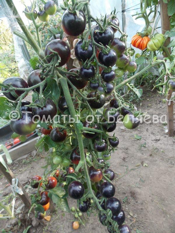 Семена томатов Чери-вишня купить