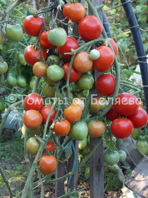 Семена томатов от частных коллекционеров Томат Эйлса крэйг
