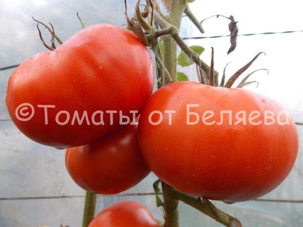 Семена томатов от частных коллекционеров Томат Фантастик