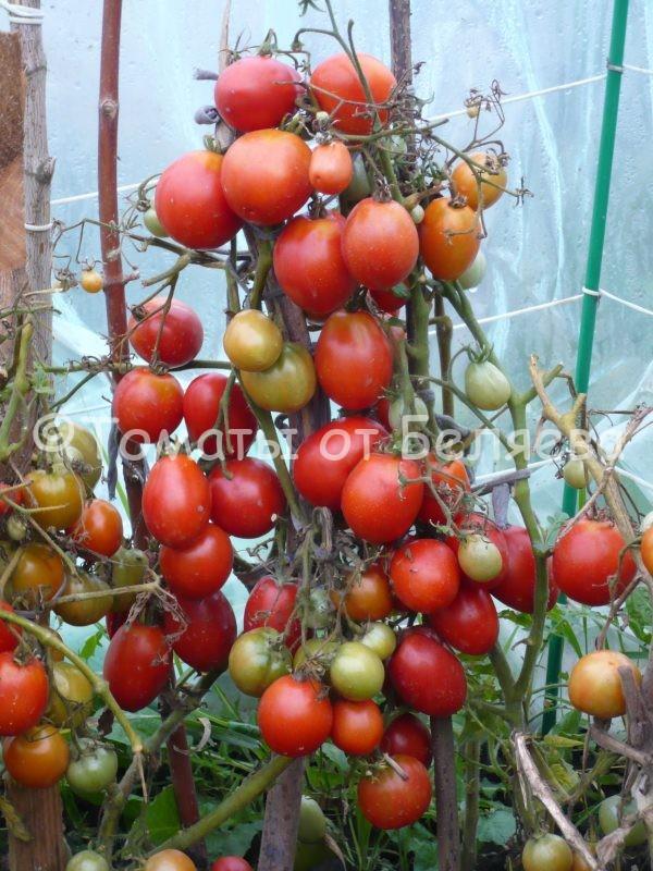 Семена томатов Фитоус–к купить