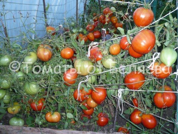 Томат Низкорослый крупноплодный семена купить