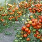 урожайные вкусные томаты