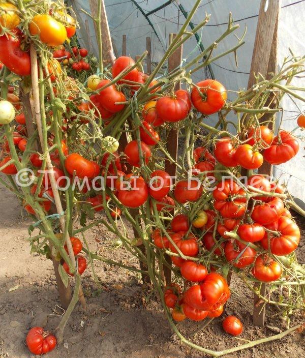 Томат Подсиневский ранний семена купить