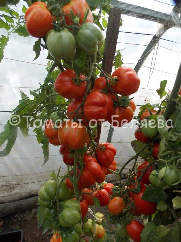 Семена томатов от частных коллекционеров Томат Полосатая пещера