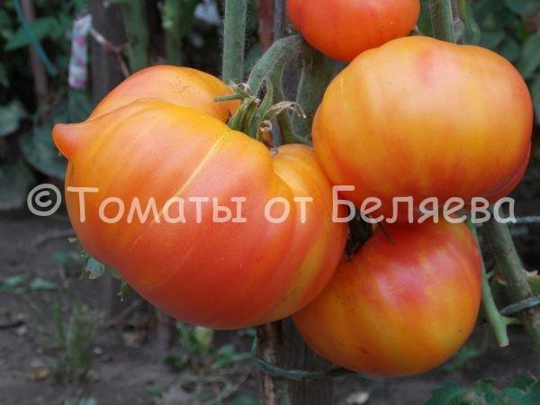 Семена томатов от частных коллекционеров Томат Полосатая раковина