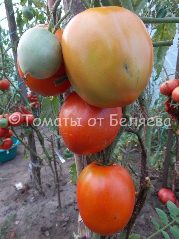 Семена томатов от частных коллекционеров Томат Райские