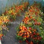 очень урожайные томаты