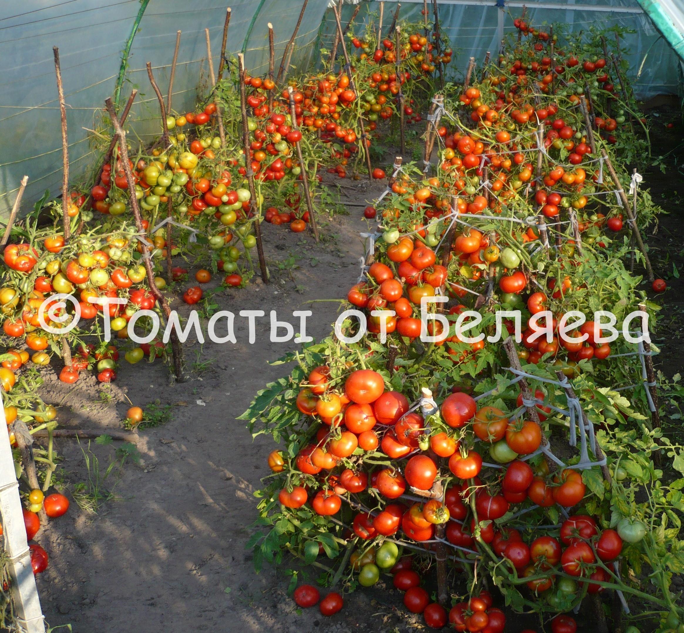 redkie-kollekcionnye-semena-tomatov