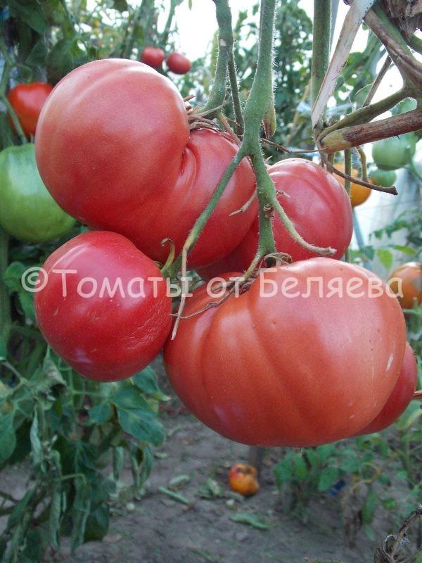 Семена томатов от частных коллекционеров Томат Роза Сызраньская