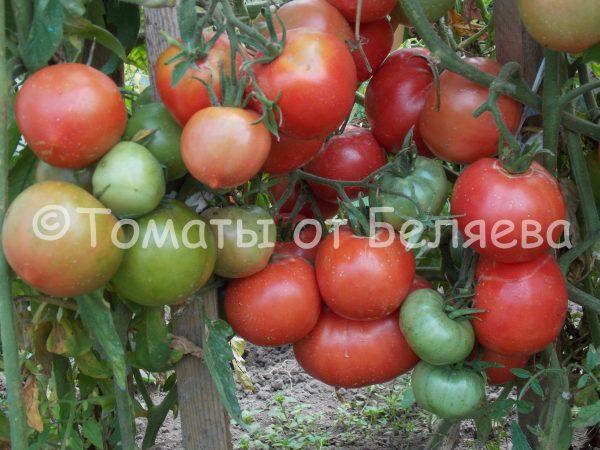 Семена томатов от частных коллекционеров Томат Розовый дикий мед