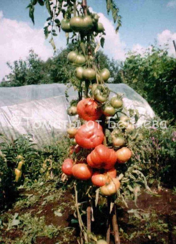 Семена томатов от частных коллекционеров Томат Розовый любительский