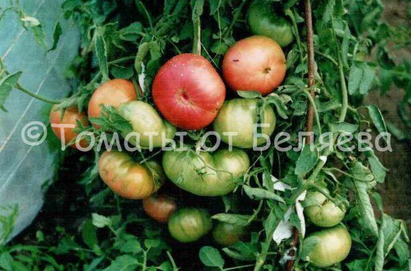 Семена томатов от частных коллекционеров Томат Розовый сахарный