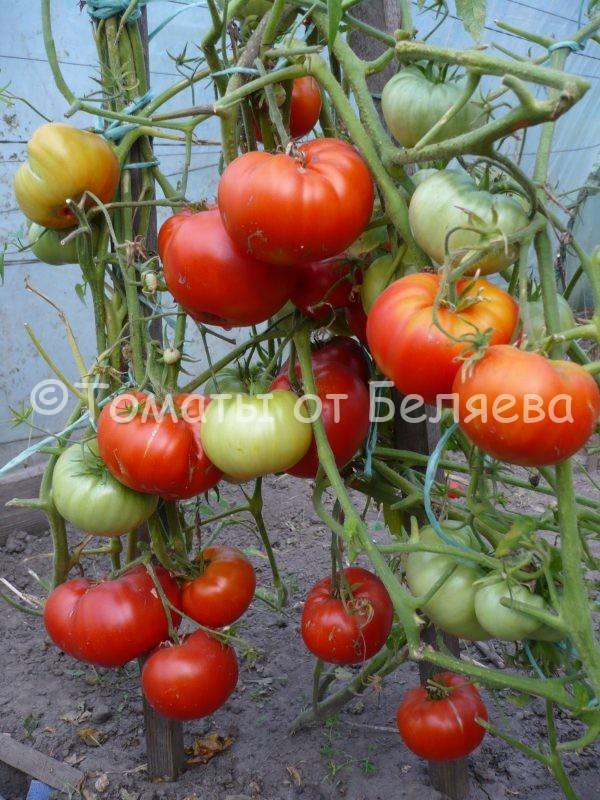 Семена томатов от частных коллекционеров Томат Саша