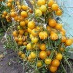 хорошие сорта томатов