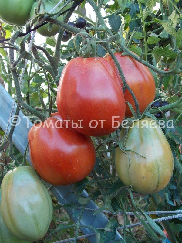 Семена томатов от частных коллекционеров Томат Сердце буйвола