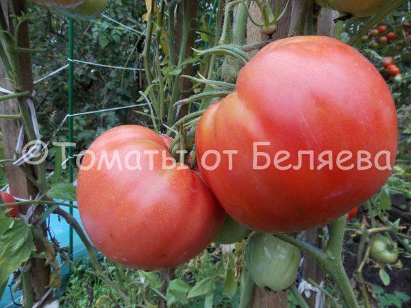 Семена томатов от частных коллекционеров Томат Сердце быка
