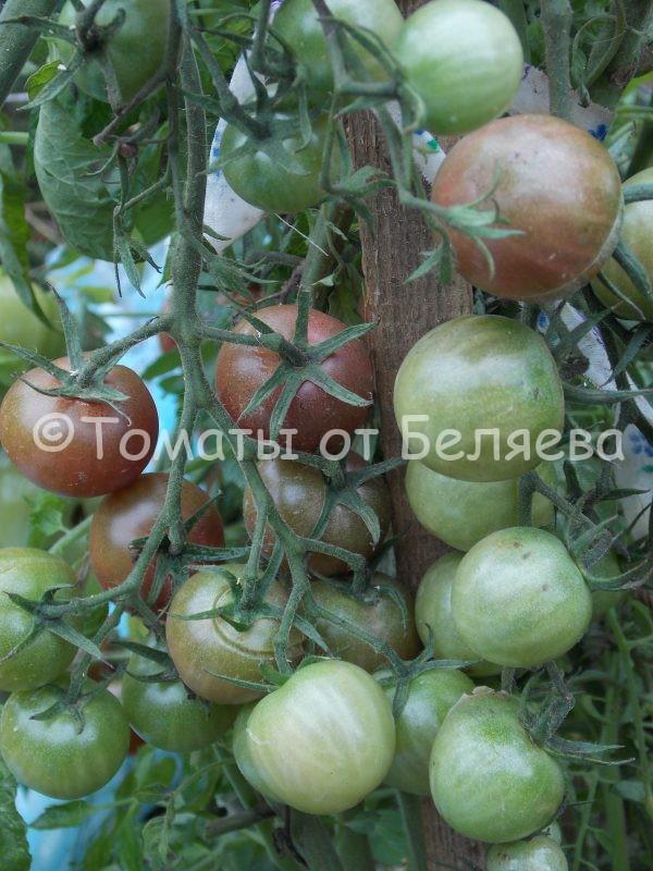 Семена томатов от частных коллекционеровТомат Шоколадная вишня