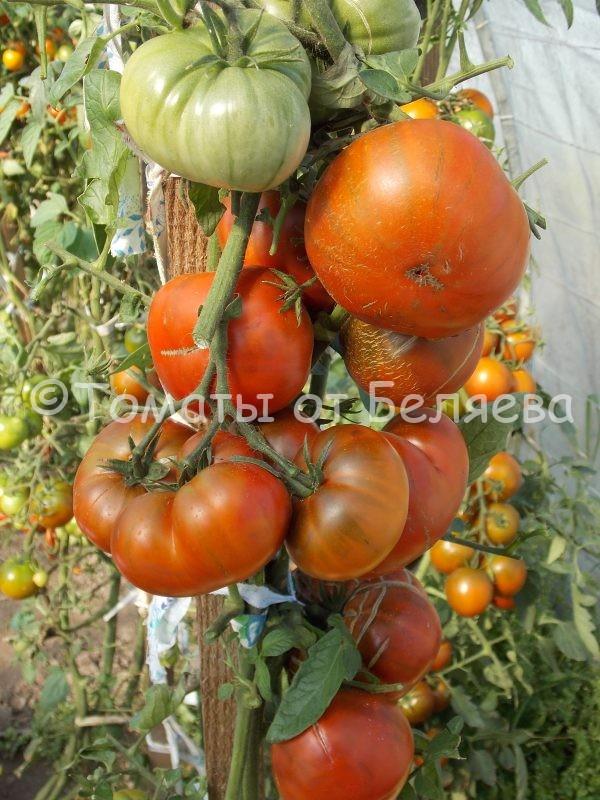 Семена томатов от частных коллекционеров Томат Шоколадно-полосатый