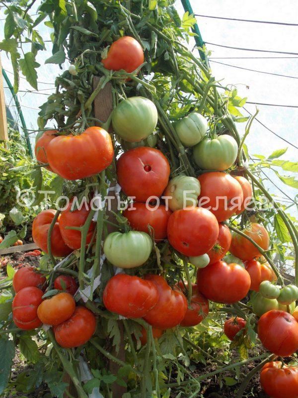 семена томатов Штамбовый крупноплодный