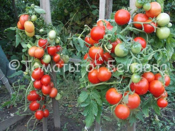 Семена томатов Сибирский экспресс купить