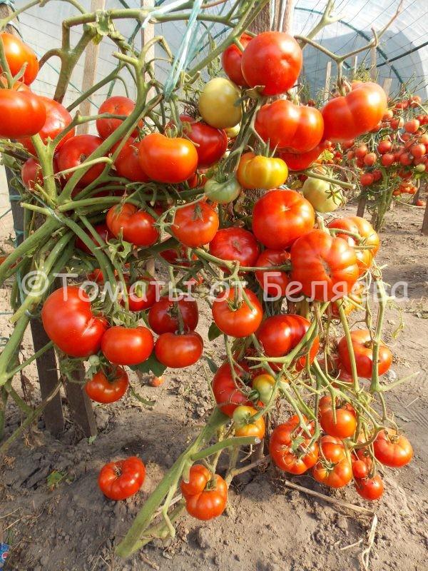 Семена томатов Сибиряк купить