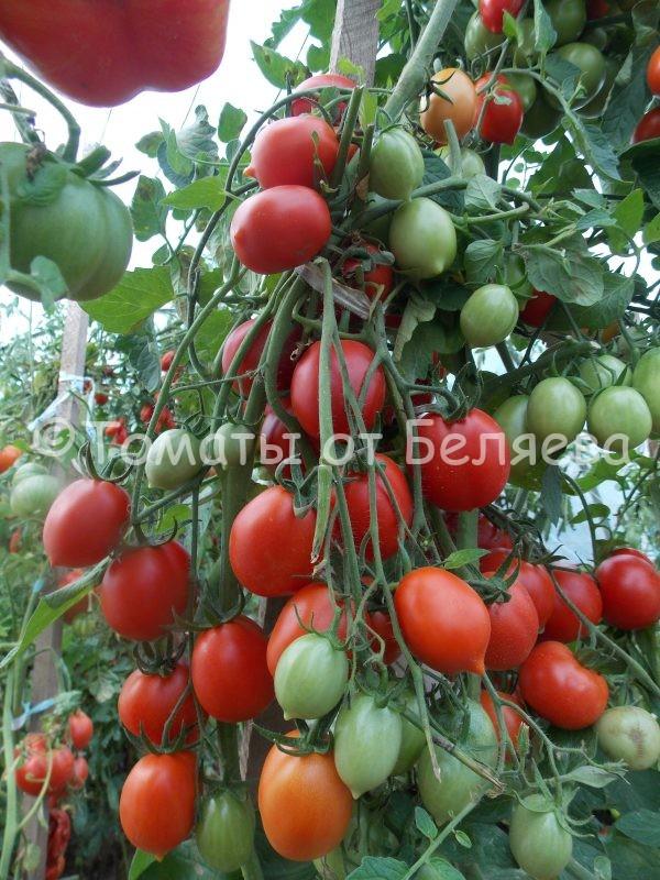 Семена томатов от частных коллекционеров Томат Сигнал тревоги