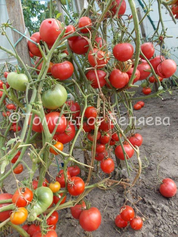 Семена томатов Скороспелка сызраньская купить