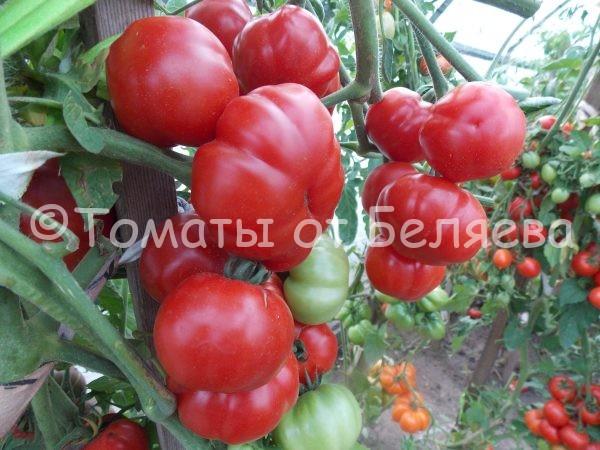Семена томатов от частных коллекционеров Томат Сладкая красавица