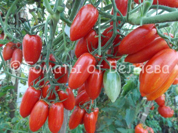 Семена томатов от частных коллекционеров Томат Сладкий Касади
