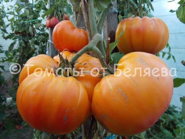 Семена томатов от частных коллекционеров Томат Сладости Вирджинии