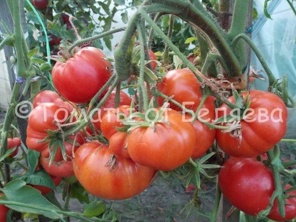 Семена томатов от частных коллекционеров Томат Славский розовый