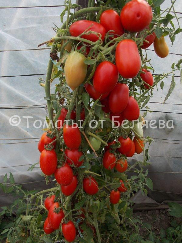 Семена томатов от частных коллекционеровТомат Сосулька ранняя