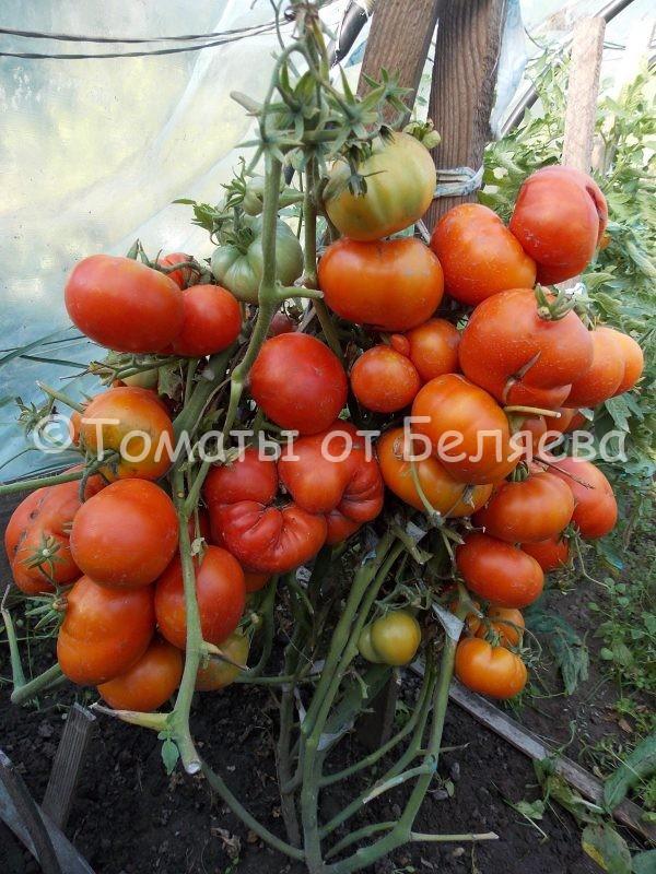 Томат Супер Марманде Семена томатов от частных коллекционеров