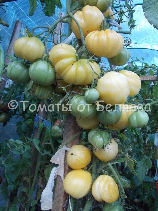 Семена томатов от частных коллекционеров Томат Т. Желтый ребристый