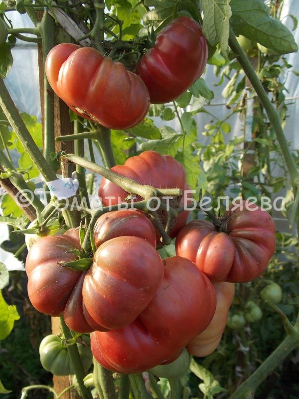 Семена томатов от частных коллекционеров Томат Тимес блэк руфлей