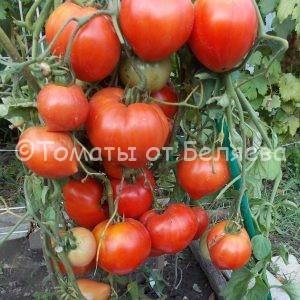 Семена томатов Трехсотграммовые купить
