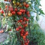 Семена томатов от Беляева