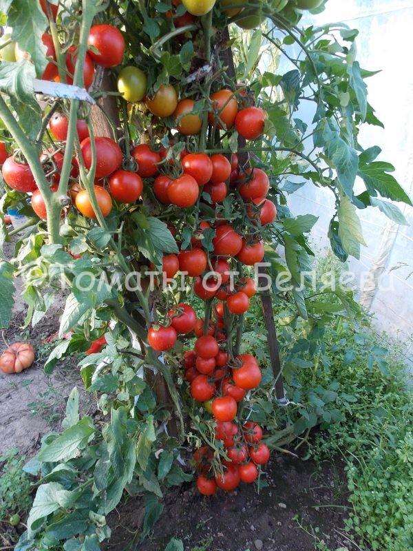 Семена томатов от частных коллекционеров Томат Японский кистевой
