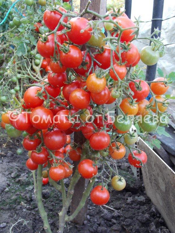 Семена томатов Японский мини купить