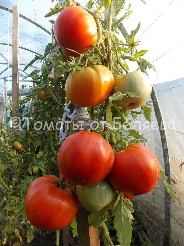 Семена томатов от частных коллекционеров Томат сахарный томат