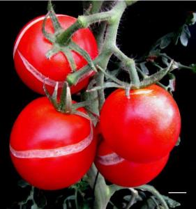 Почему помидоры трескаются