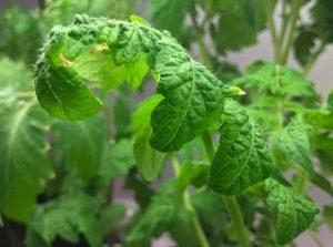Почему у помидор скручиваются листья