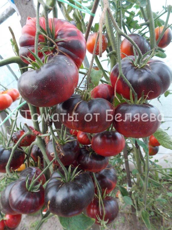 Семена томатов от частных коллекционеров Томат Черная голова