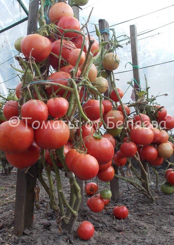 Томат малиновый цвет купить семена